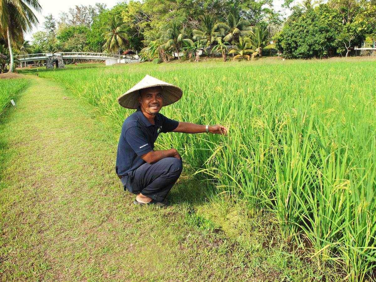 Langkawi risodling
